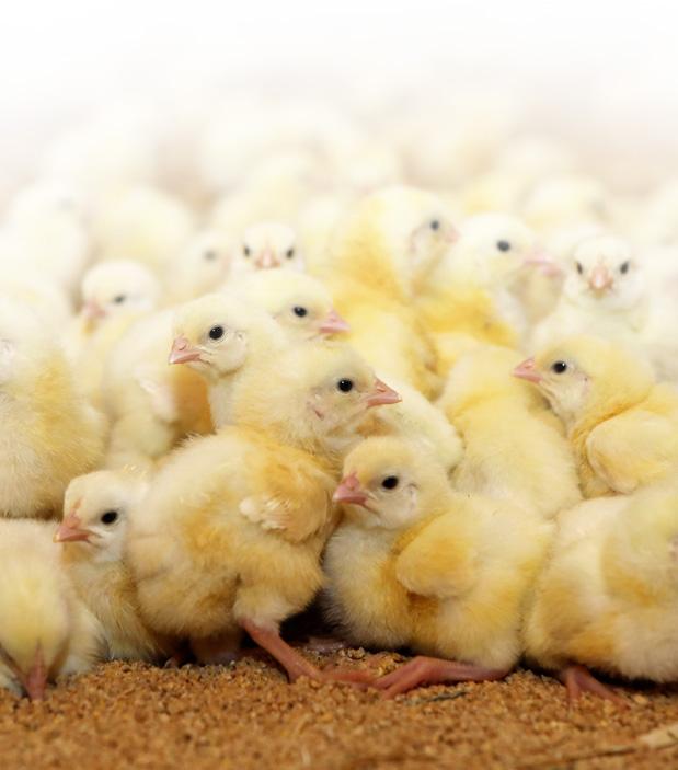 Naše kuřata